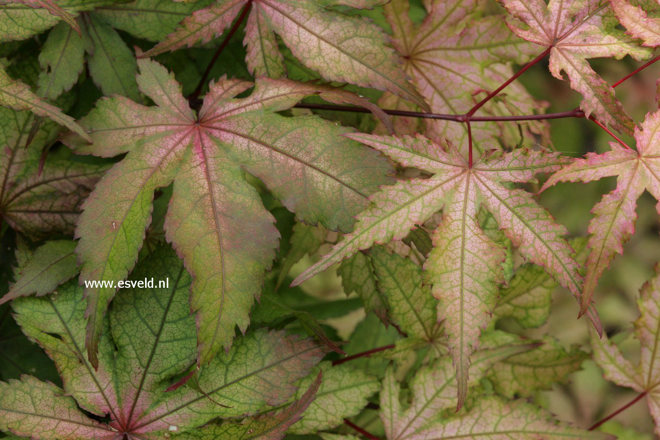 Picture And Description Of Acer Palmatum Amber Ghost