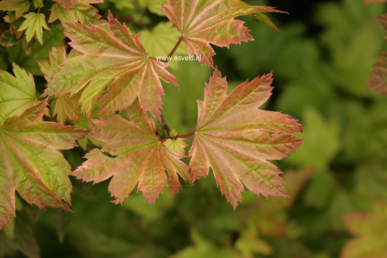 Acer circinatum 'Sunglow'