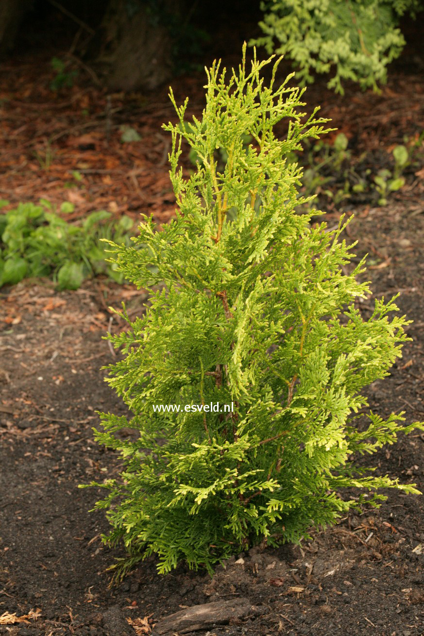 Picture and description of Thuja occidentalis 'Golden Brabant'