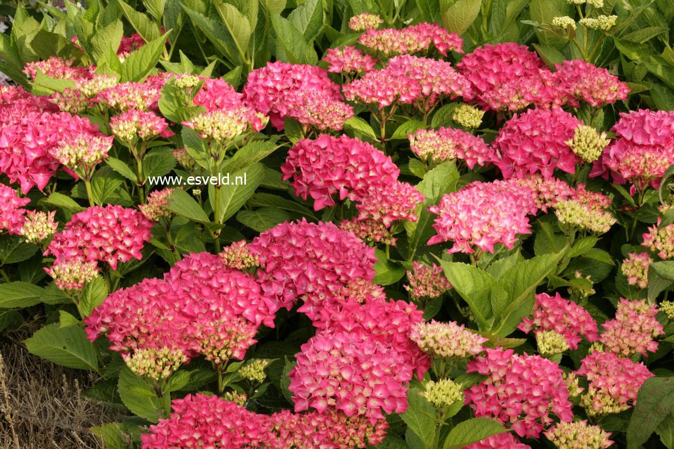 Hydrangea macrophylla 'Liebegg'