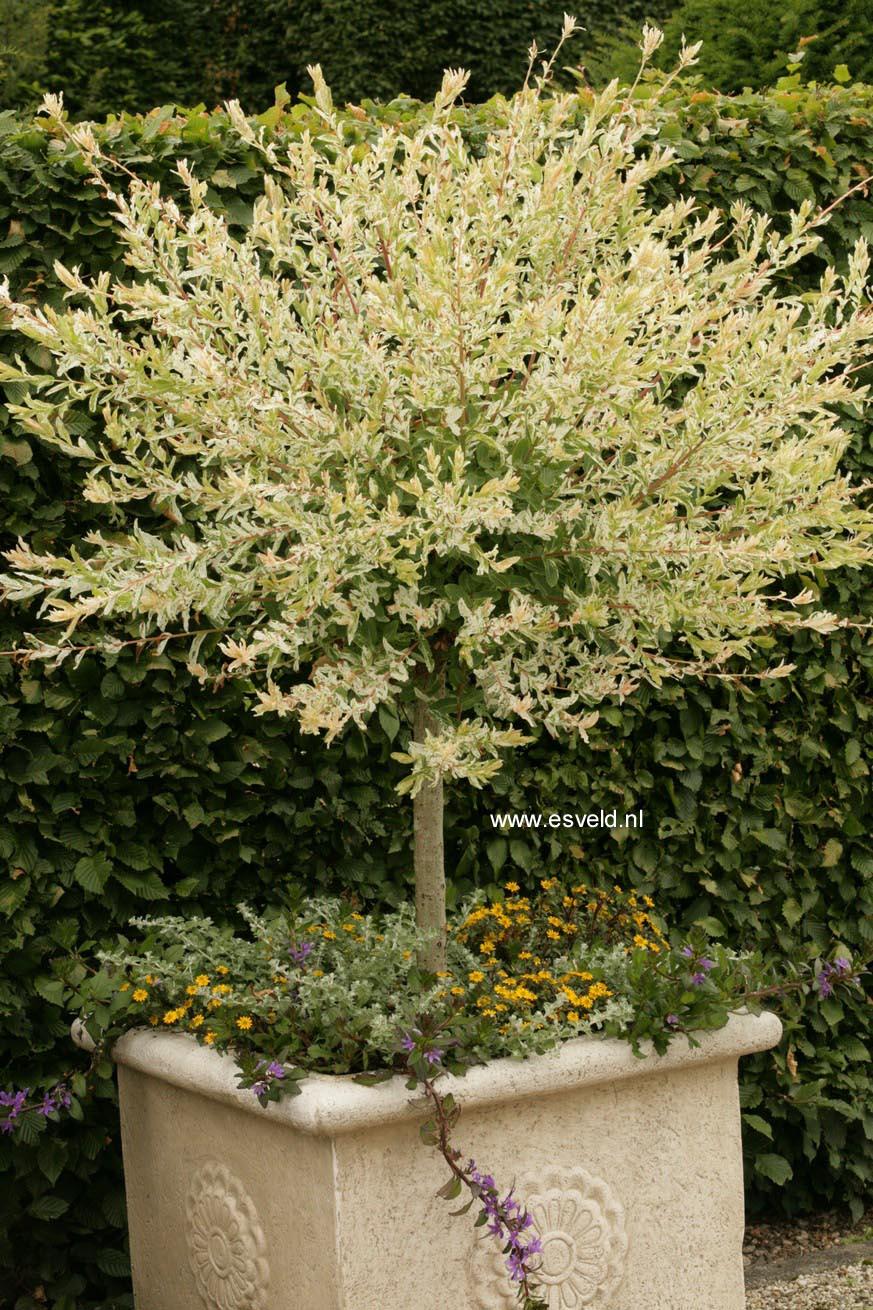 Plantenwinkel salix integra 39 hakuro nishiki 39 - Salix hakuro nishiki taille ...