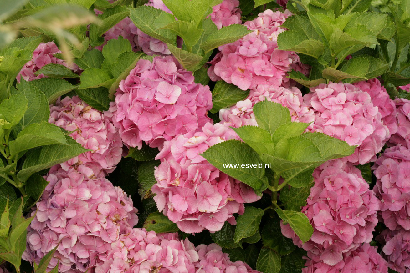 picture and description of hydrangea macrophylla 39 early. Black Bedroom Furniture Sets. Home Design Ideas