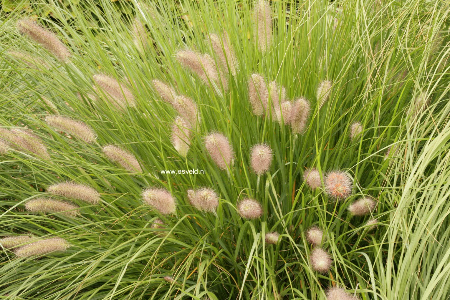 Pennisetum alopecuroides 'Magic'