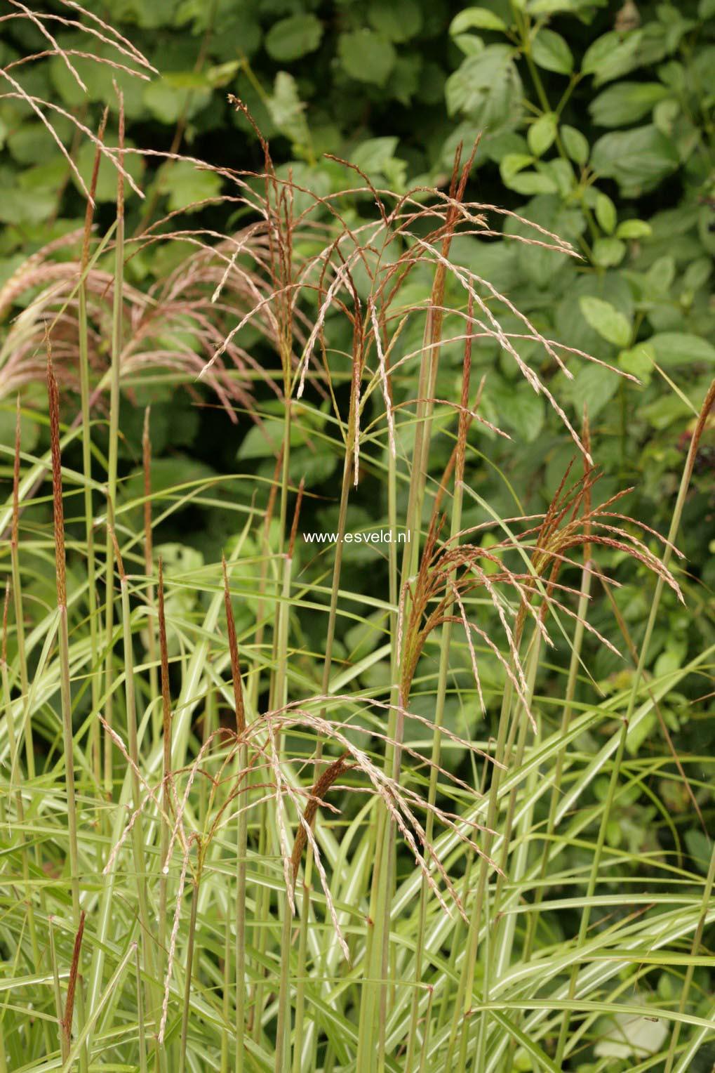 Miscanthus sinensis 'Undine'