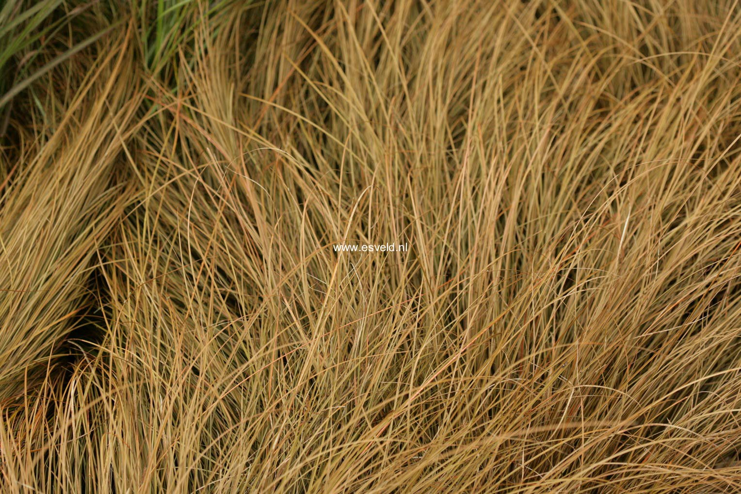Carex flagellifera