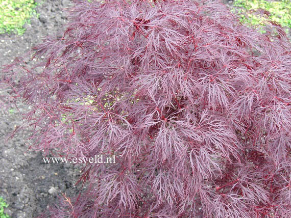 Picture And Description Of Acer Palmatum Red Filigree Lace