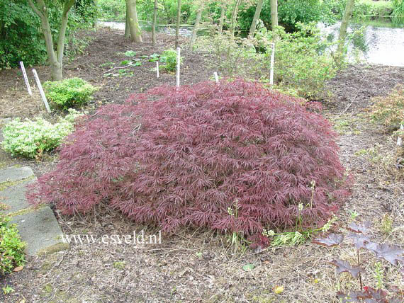 Picture And Description Of Acer Palmatum Red Select