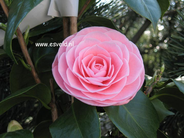 Picture And Description Of Camellia Japonica Pearl Maxwell