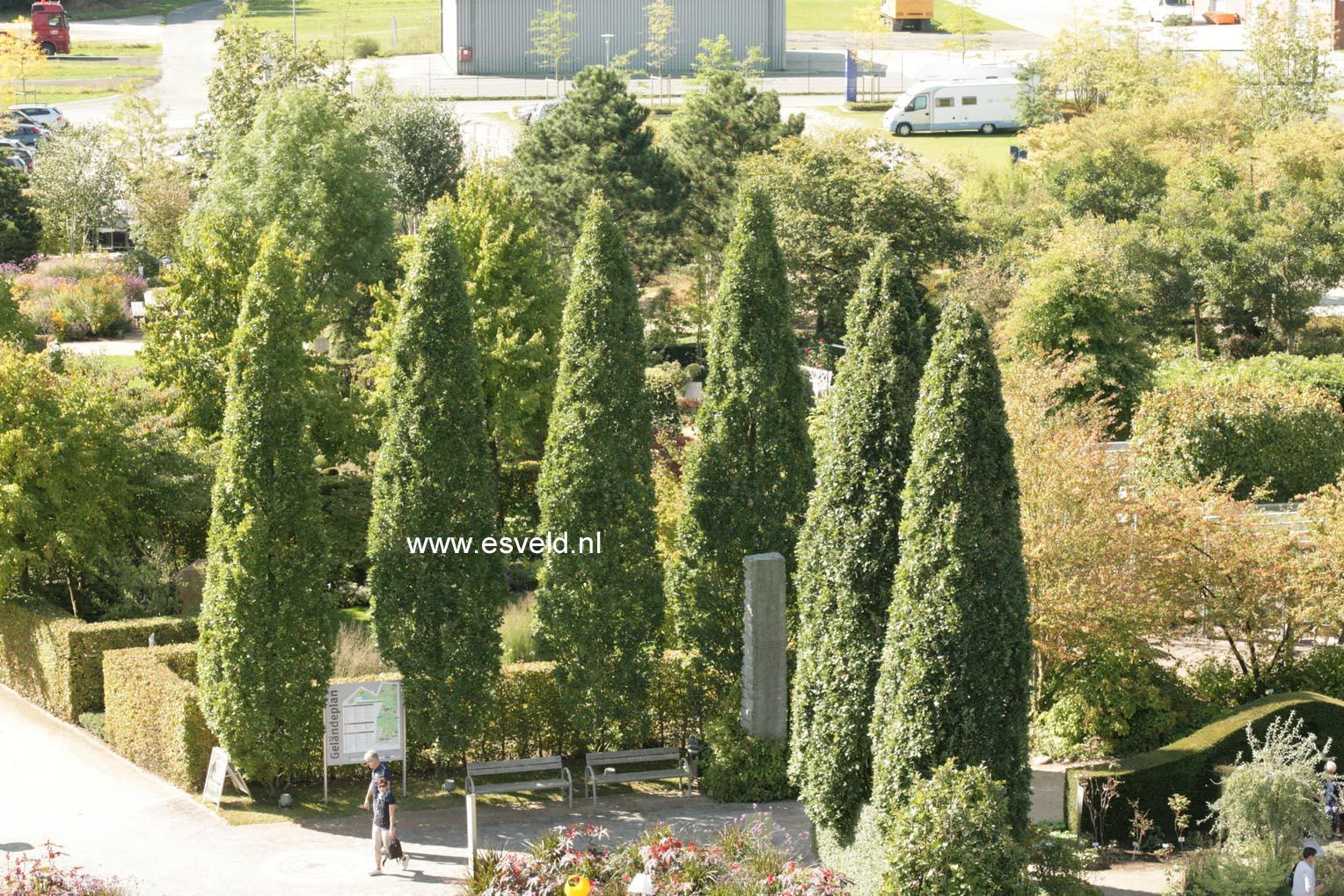 Picture and description of Quercus robur 'Fastigiata ...