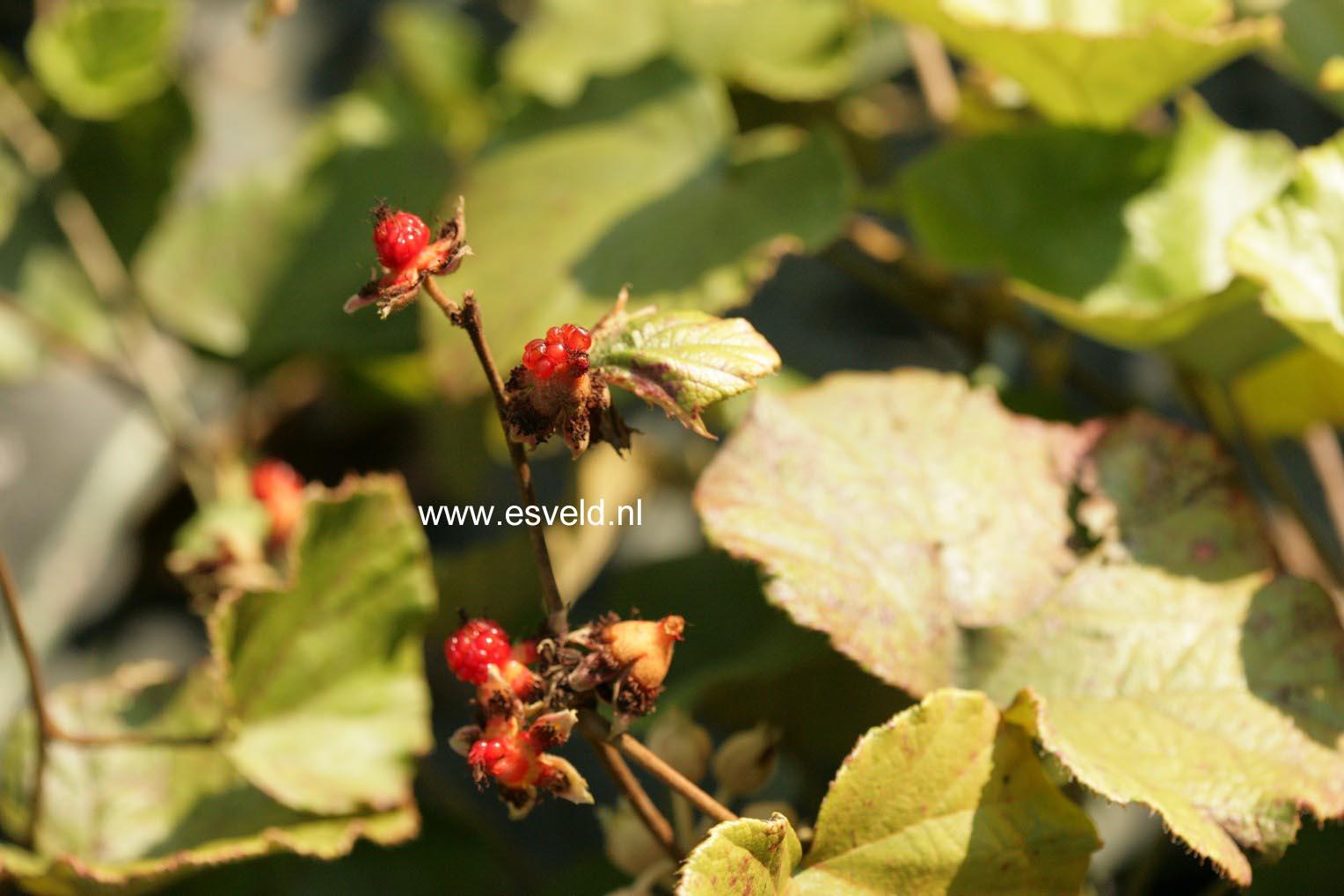 Rubus irenaeus