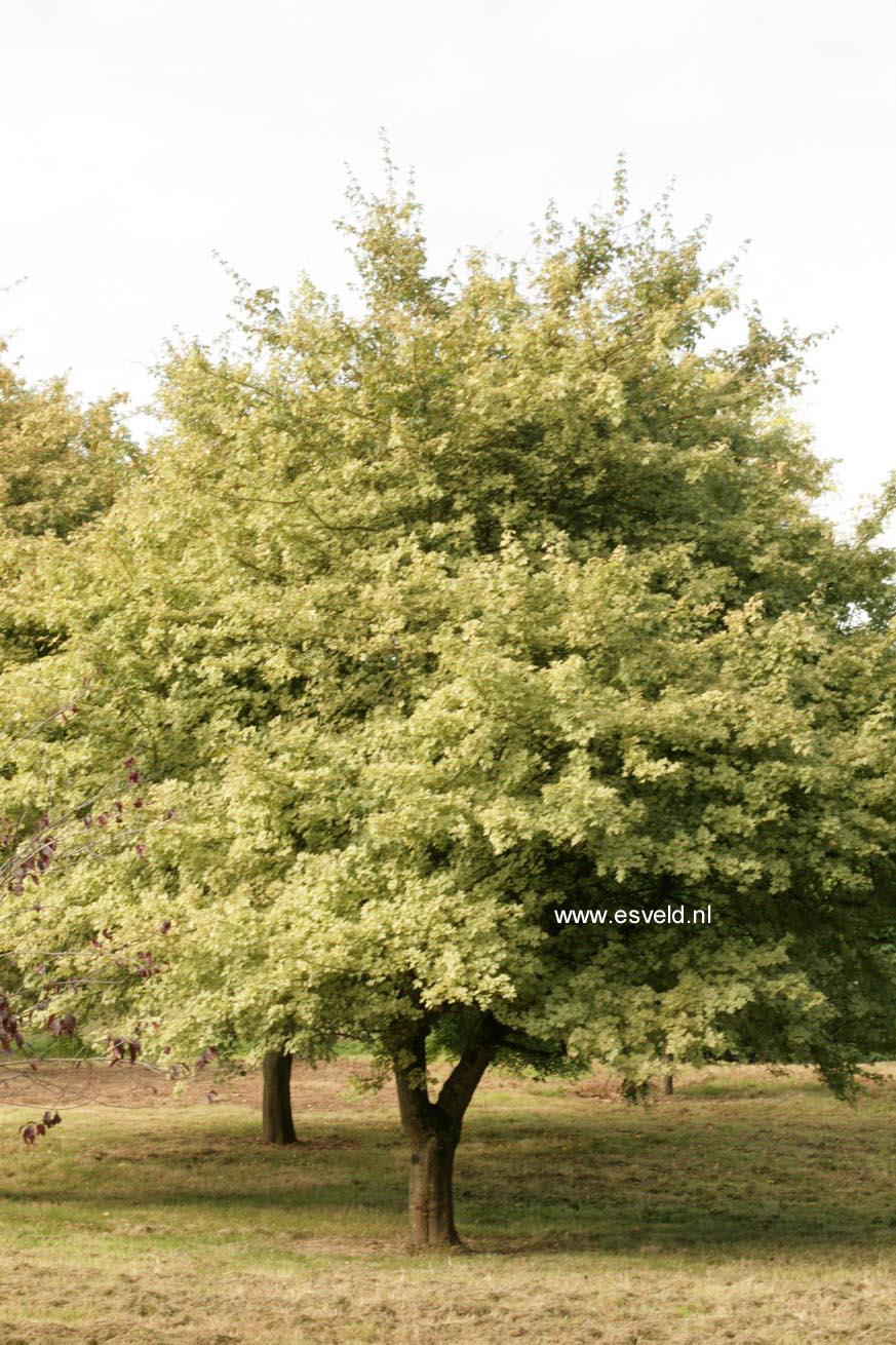 Picture And Description Of Acer Campestre Pulverulentum