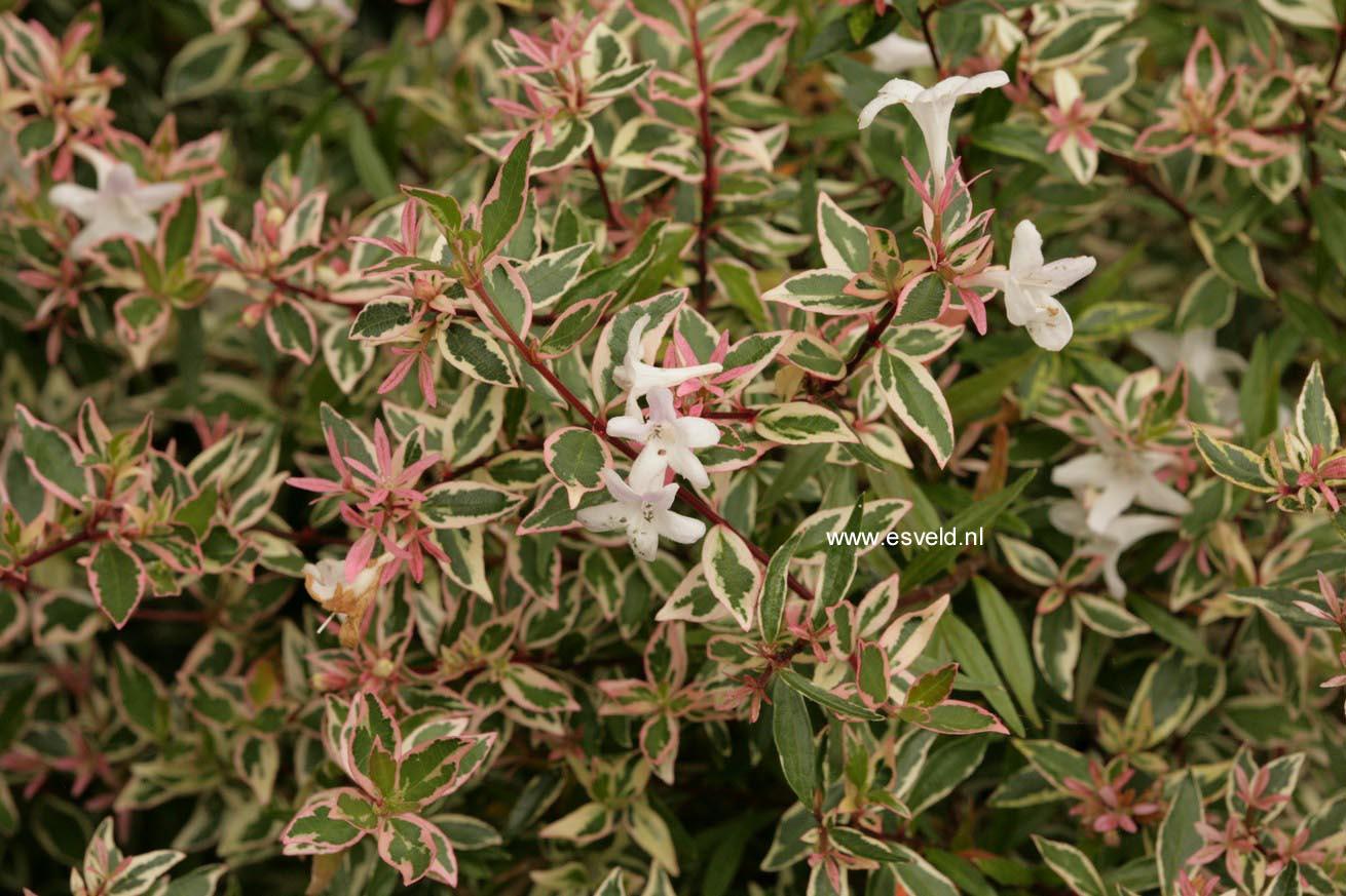 Picture And Description Of Abelia Conti Confetti