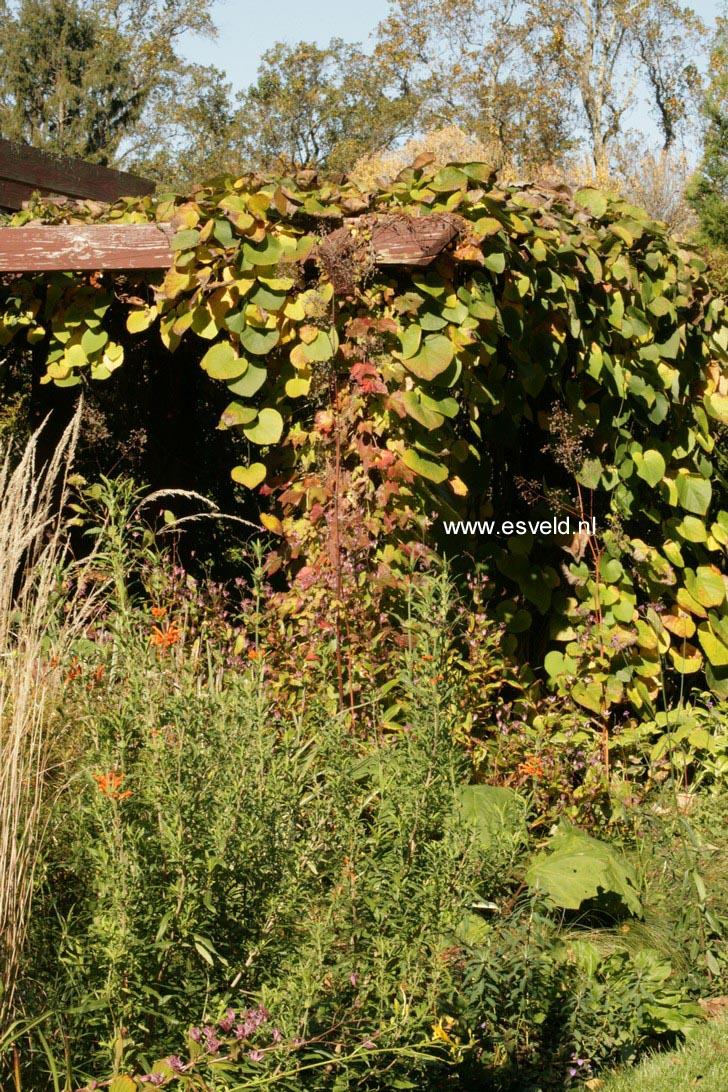 Aristolochia macrophylla