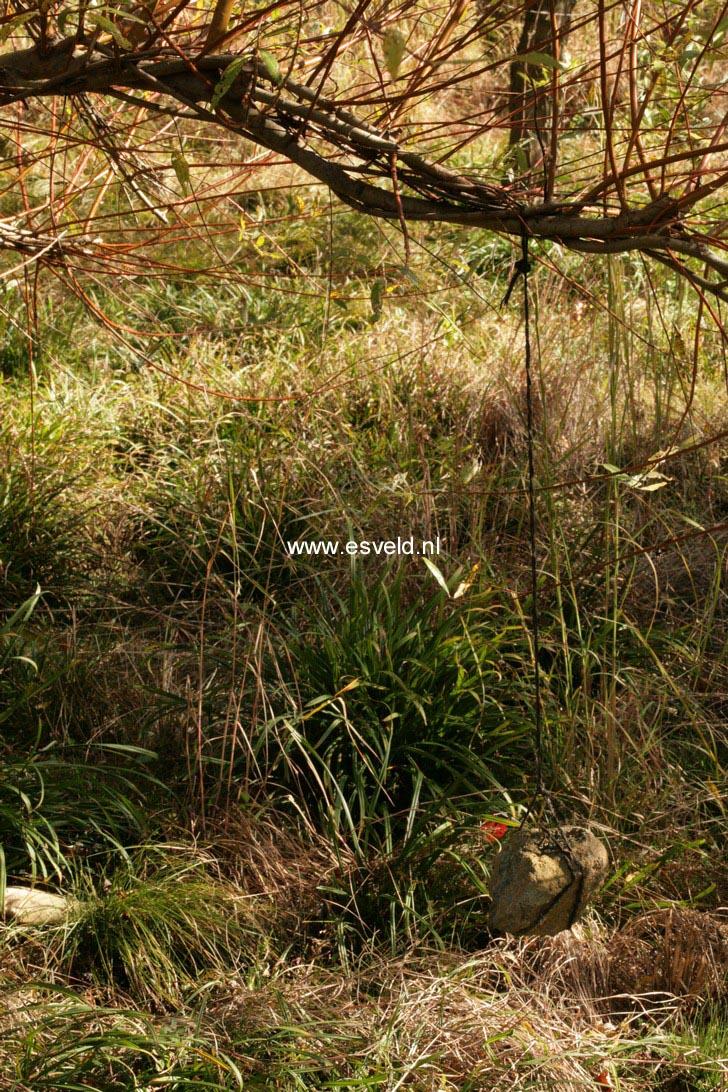 Salix alba 'Chermesina'