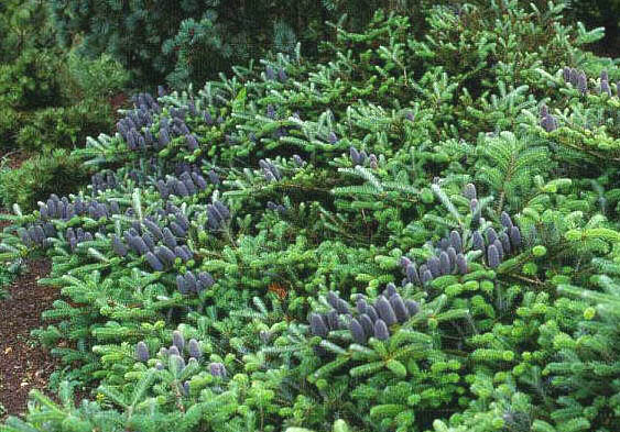 Abies koreana 'Prostrate Beauty'