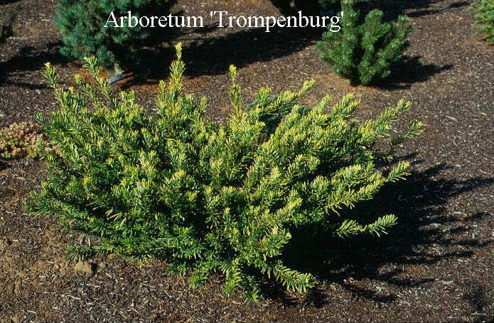 Picture And Description Of Cephalotaxus Harringtonii 39 Duke Garden 39