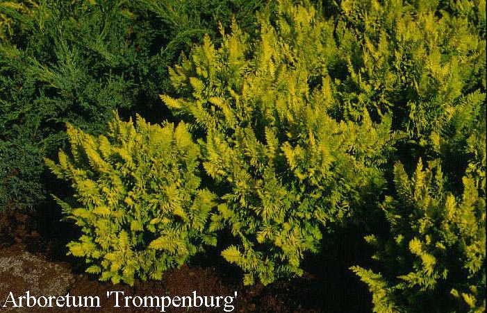 Chamaecyparis obtusa 'Tetragona Aurea'