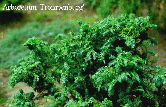 Cryptomeria japonica 'Kilmacurragh'
