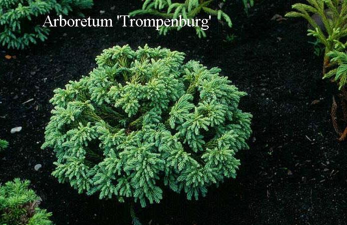 Cryptomeria japonica 'Little Diamond'