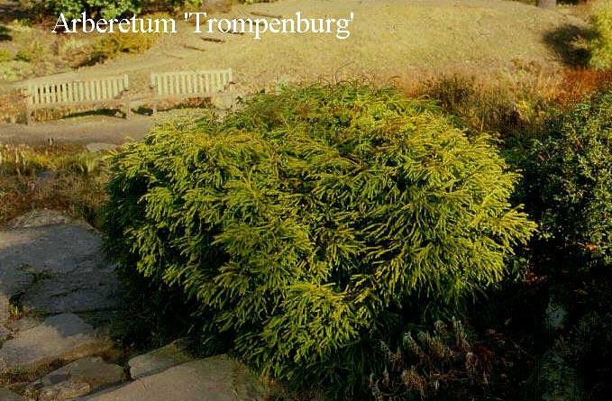 Cryptomeria japonica 'Spiralis'
