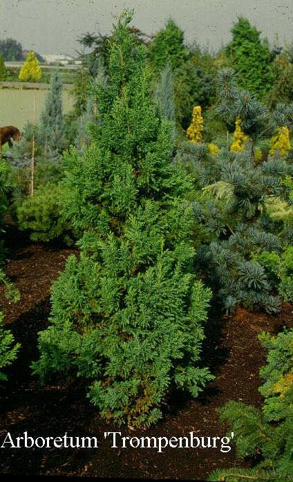 Chamaecyparis obtusa 'Drath'
