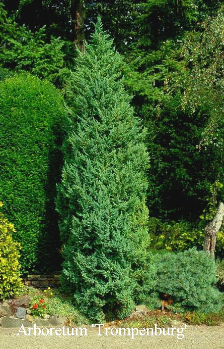 Juniperus chinensis 'Monarch'