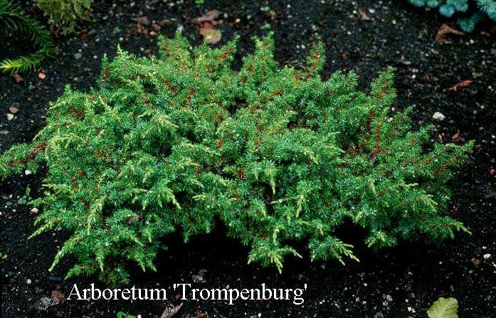 Juniperus communis 'Green Carpet'