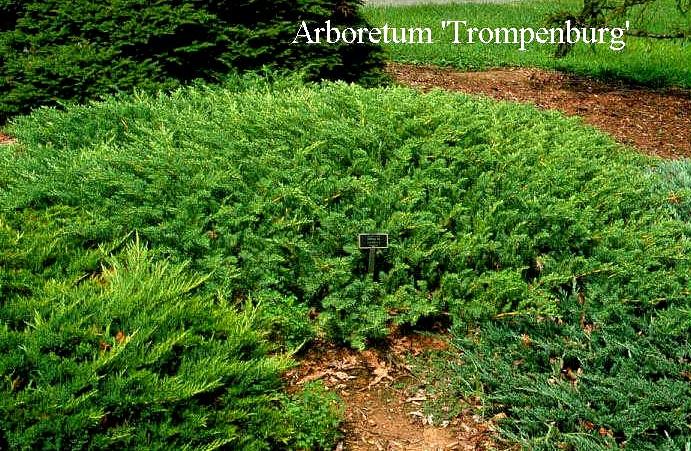 Picture And Description Of Juniperus Conferta Emerald Sea