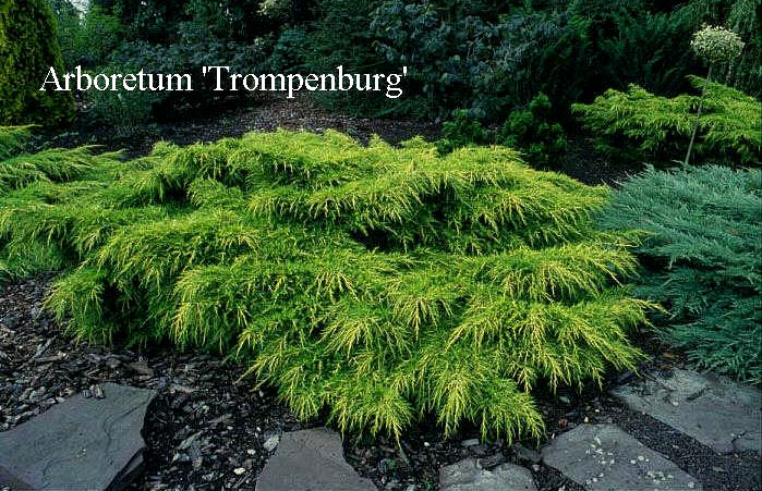 Juniperus pfitzeriana 'Gold Coast'