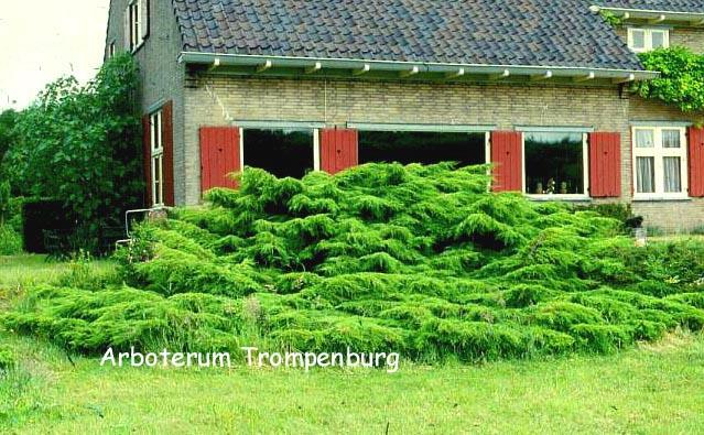 Juniperus pfitzeriana 'Wilhelm Pfitzer'