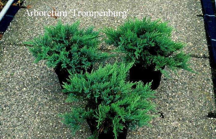 Picture And Description Of Juniperus Sabina Tam No Blight
