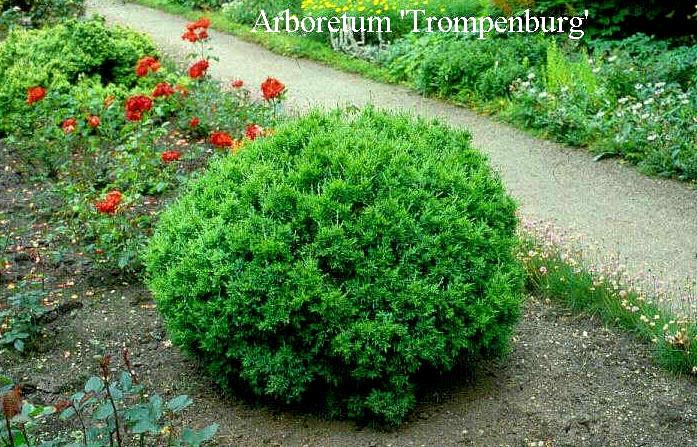 Juniperus virginiana 'Globosa'