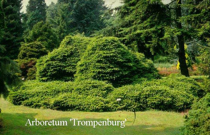 Picture And Description Of Picea Abies Pumila Nigra