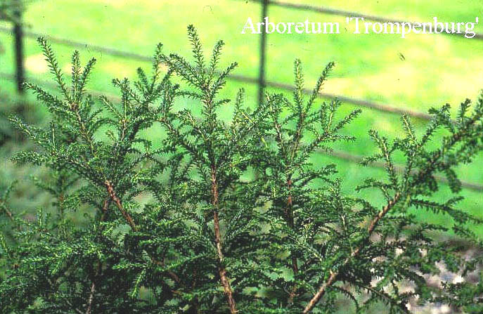 Taxus baccata 'Rushmore'