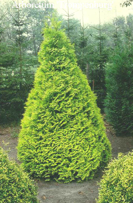 Picture and description of Thuja occidentalis 'Sunkist'