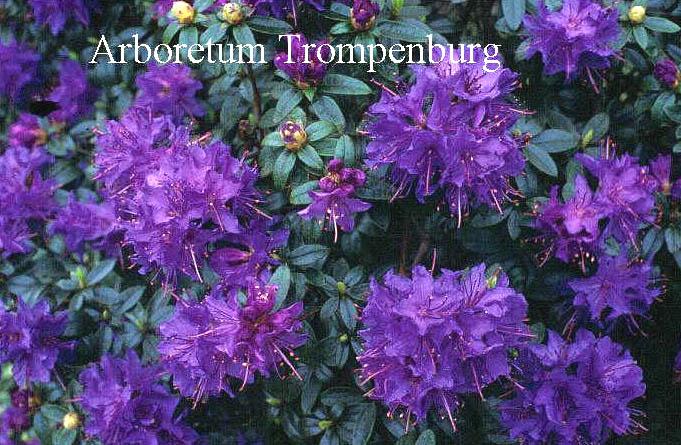 abbildung und beschreibung von rhododendron 39 gristede 39. Black Bedroom Furniture Sets. Home Design Ideas