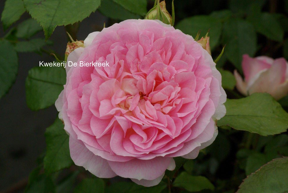 picture and description of rosa 39 meissespier 39 kurfuerstin. Black Bedroom Furniture Sets. Home Design Ideas