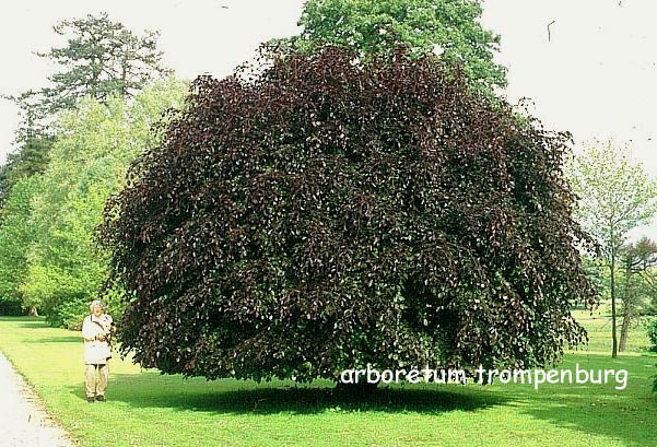 pictures and description of fagus sylvatica purpurea. Black Bedroom Furniture Sets. Home Design Ideas