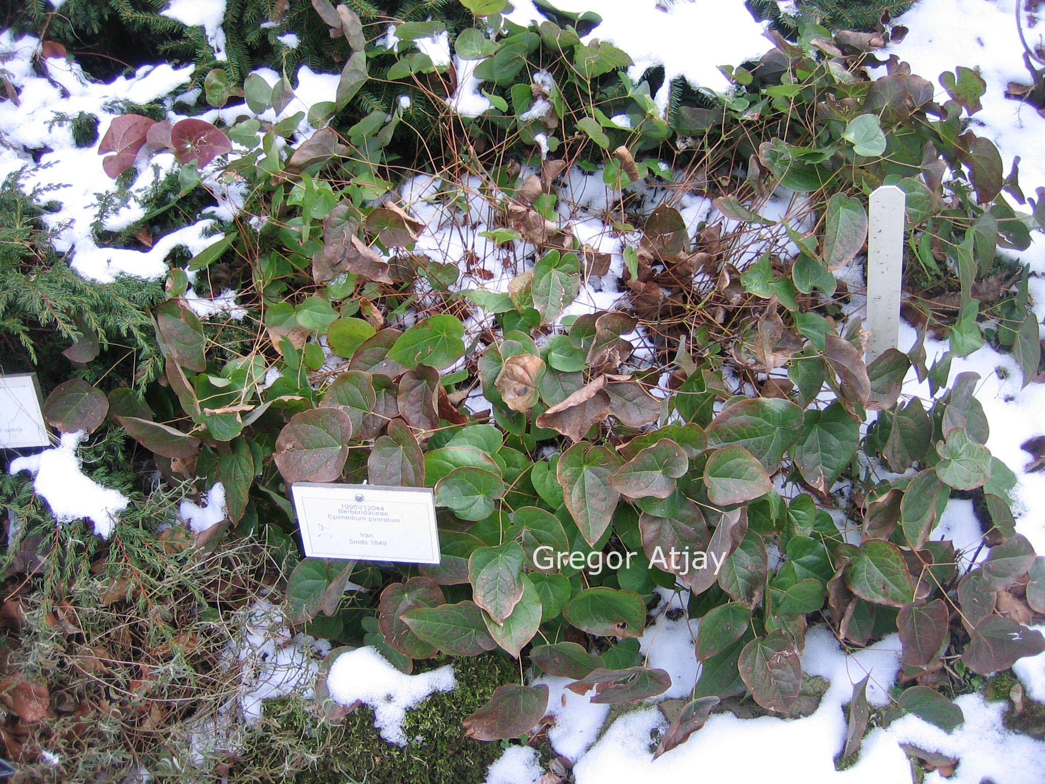 Epimedium pinnatum