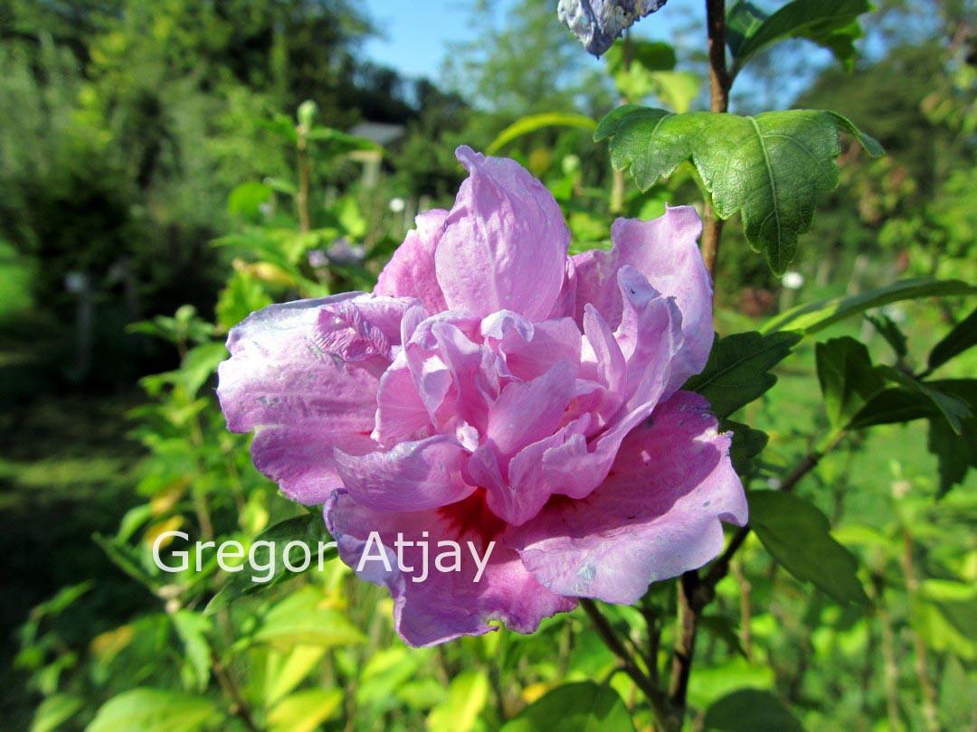 pictures and description of hibiscus syriacus duc de. Black Bedroom Furniture Sets. Home Design Ideas