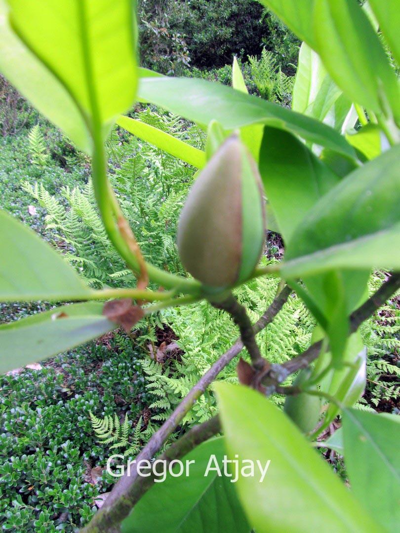 abbildung und beschreibung von magnolia virginiana 39 havener 39. Black Bedroom Furniture Sets. Home Design Ideas