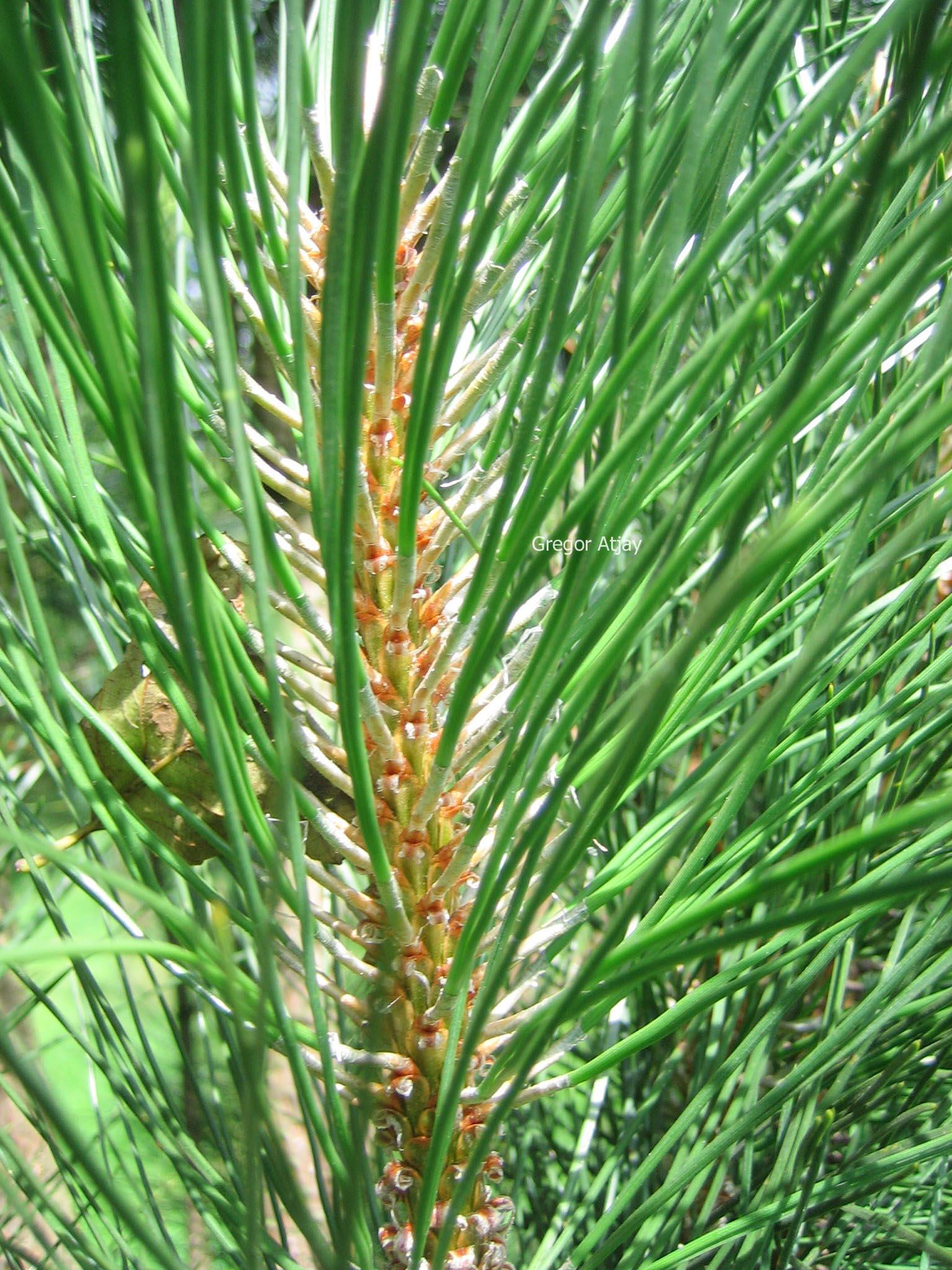 Pinus nigra 'Obelisk'