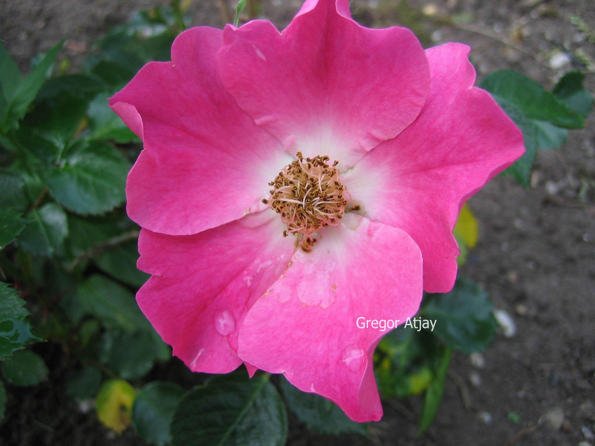 Rosa wande
