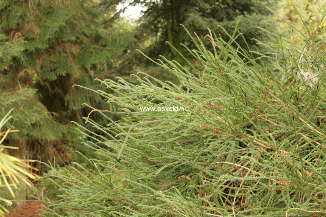 Cryptomeria japonica 'Dacrydioides'
