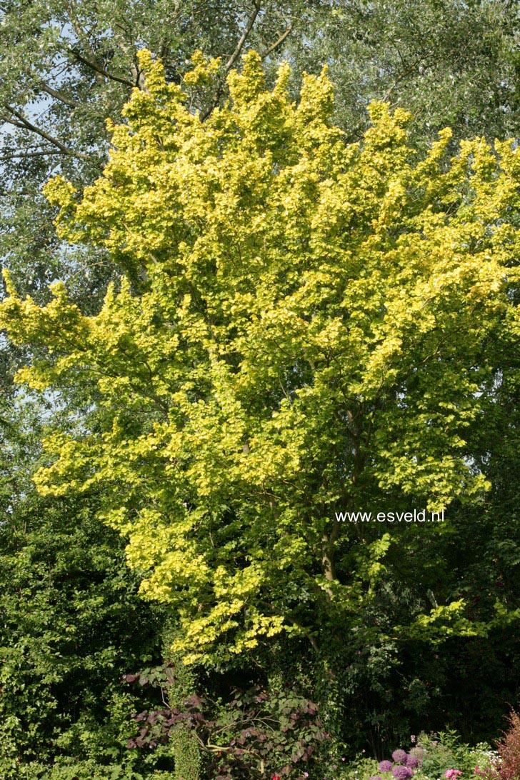 Ulmus hollandica 'Wredei'