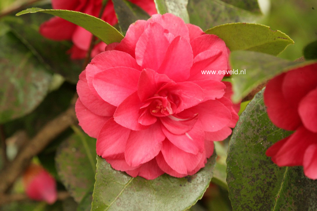 afbeeldingen en beschrijving van camellia japonica fleur. Black Bedroom Furniture Sets. Home Design Ideas
