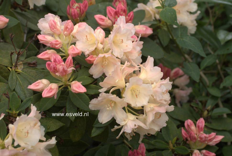 abbildung und beschreibung von rhododendron 39 lackblatt 39. Black Bedroom Furniture Sets. Home Design Ideas