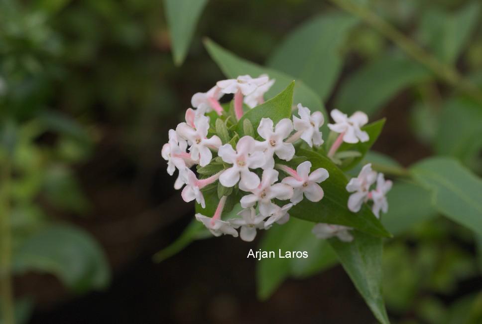 Picture And Description Of Abelia Mosanensis Monia Bridal Bouquet