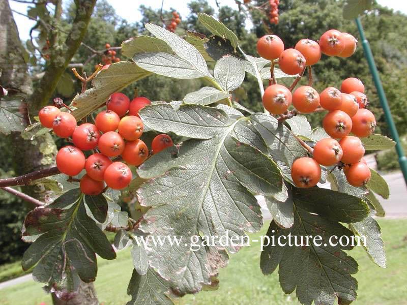 Sorbus hybrida 'Gibbsii'