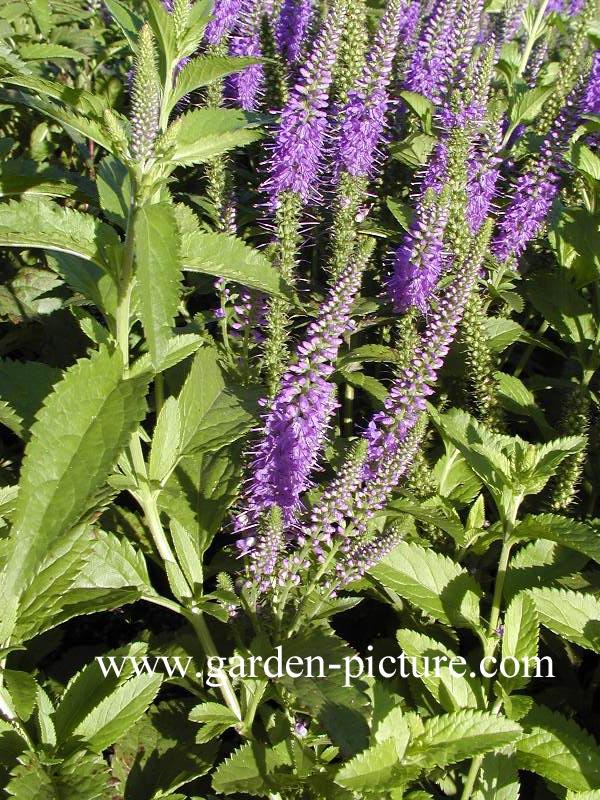 Veronica longifolia 'Blauriesin'